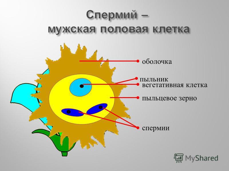 пыльник оболочка вегетативная клетка пыльцевое зерно спермии