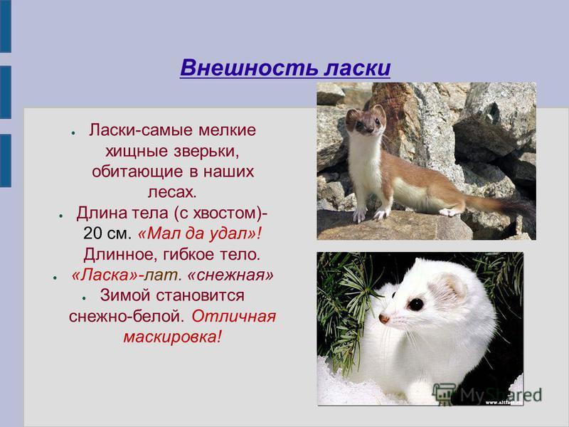Внешность ласки Ласки-самые мелкие хищные зверьки, обитающие в наших лесах. Длина тела (с хвостом)- 20 см. «Мал да удал»! Длинное, гибкое тело. «Ласка»-лат. «снежная» Зимой становится снежно-белой. Отличная маскировка!