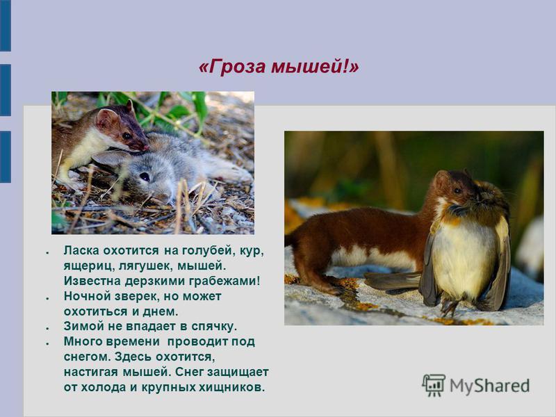 «Гроза мышей!» Ласка охотится на голубей, кур, ящериц, лягушек, мышей. Известна дерзкими грабежами! Ночной зверек, но может охотиться и днем. Зимой не впадает в спячку. Много времени проводит под снегом. Здесь охотится, настигая мышей. Снег защищает