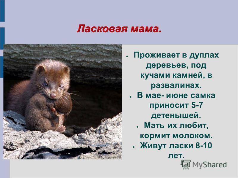 Ласковая мама. Проживает в дуплах деревьев, под кучами камней, в развалинах. В мае- июне самка приносит 5-7 детенышей. Мать их любит, кормит молоком. Живут ласки 8-10 лет.