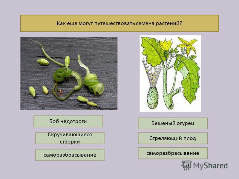 Как еще могут путешествовать семена растений? саморазбрасывание Боб недотроги Скручивающиеся створки Бешеный огурец Стреляющий плод саморазбрасывание
