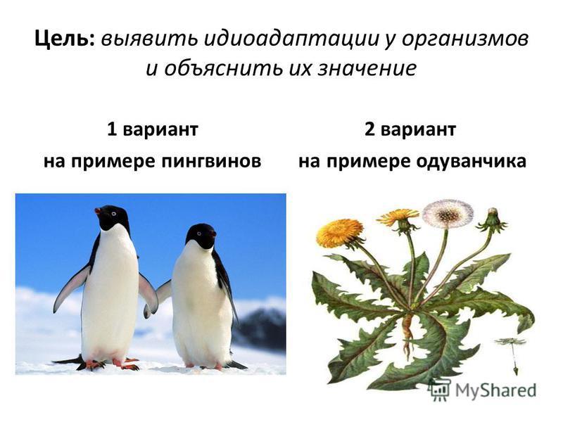 Цель: выявить идиоадаптации у организмов и объяснить их значение 1 вариант на примере пингвинов 2 вариант на примере одуванчика