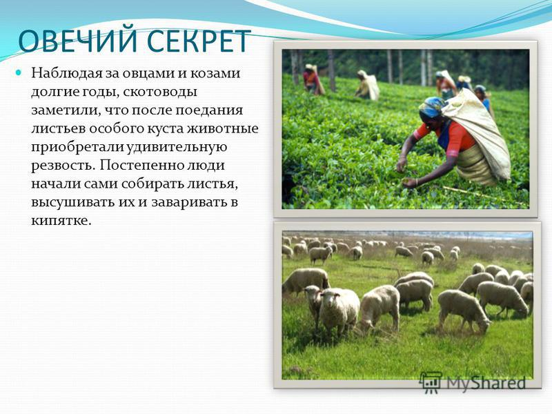 ОВЕЧИЙ СЕКРЕТ Наблюдая за овцами и козами долгие годы, скотоводы заметили, что после поедания листьев особого куста животные приобретали удивительную резвость. Постепенно люди начали сами собирать листья, высушивать их и заваривать в кипятке.