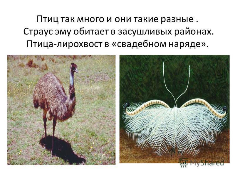 Птиц так много и они такие разные. Страус эму обитает в засушливых районах. Птица-лирохвост в «свадебном наряде».