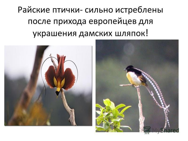 Райские птички- сильно истреблены после прихода европейцев для украшения дамских шляпок !