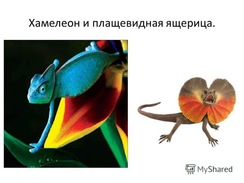 Хамелеон и плащевидная ящерица.