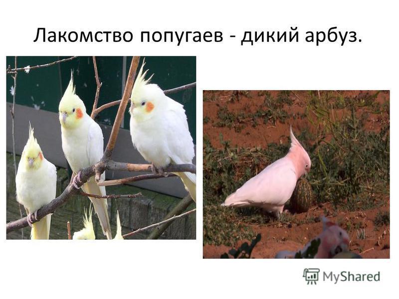 Лакомство попугаев - дикий арбуз.