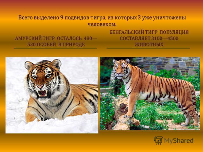 Всего выделено 9 подвидов тигра, из которых 3 уже уничтожены человеком. АМУРСКИЙ ТИГР ОСТАЛОСЬ 480 520 ОСОБЕЙ В ПРИРОДЕ БЕНГАЛЬСКИЙ ТИГР ПОПУЛЯЦИЯ СОСТАВЛЯЕТ 31004500 ЖИВОТНЫХ