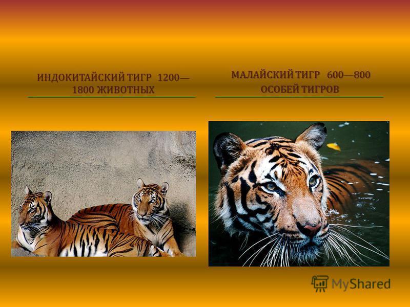 ИНДОКИТАЙСКИЙ ТИГР 1200 1800 ЖИВОТНЫХ МАЛАЙСКИЙ ТИГР 600800 ОСОБЕЙ ТИГРОВ МАЛАЙСКИЙ ТИГР 600800 ОСОБЕЙ ТИГРОВ