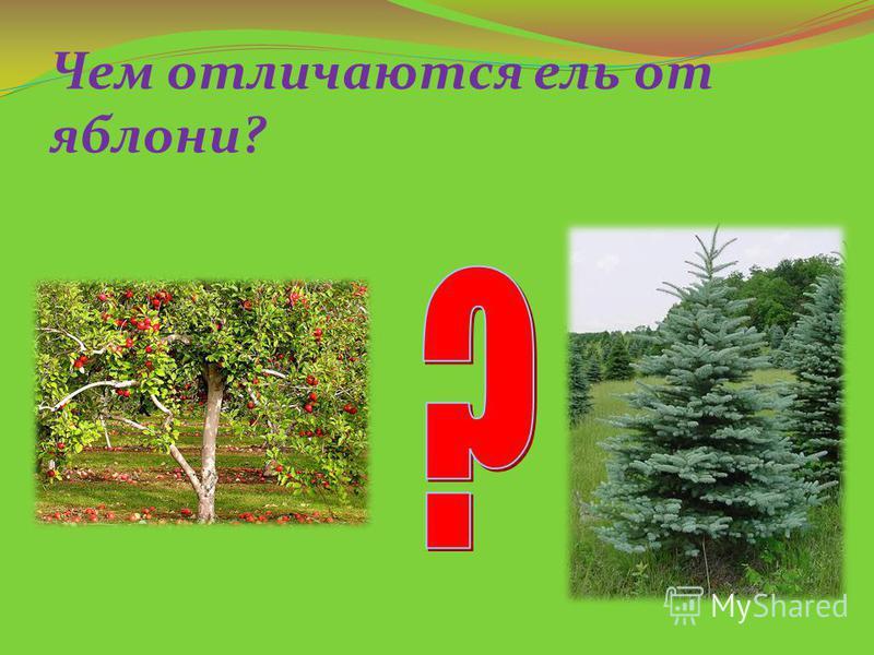 Чем отличаются ель от яблони?