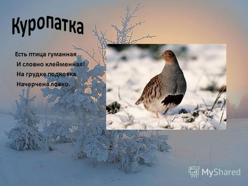 Есть птица гуманная И словно клейменная! На грудке подковка Начерчена ловко.