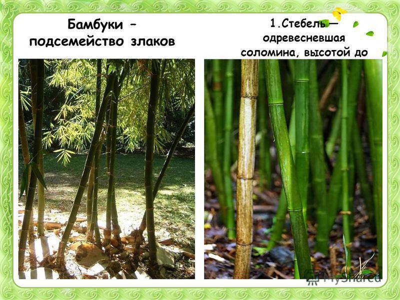 Бамбуки – подсемейство злаков 1. Стебель одревесневшая соломина, высотой до 40 м, диаметром до 30 см. Растет главным образом в тропиках и субтропиках. Многие бамбуки цветут раз в жизни и после плодоношения погибают. 2. Легкие прочные стебли идут на п