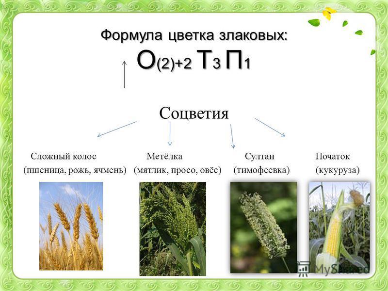 Формула цветка злаковых: О (2)+2 Т 3 П 1 Соцветия Сложный колос Метёлка Султан Початок (пшеница, рожь, ячмень) (мятлик, просо, овёс) (тимофеевка) (кукуруза)