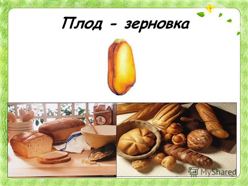 Плод - зерновка