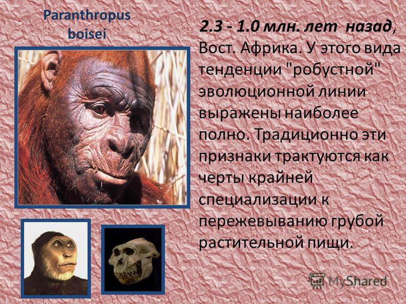 Paranthropus boisei 2.3 - 1.0 млн. лет назад, Вост. Африка. У этого вида тенденции робустной эволюционной линии выражены наиболее полно. Традиционно эти признаки трактуются как черты крайней специализации к пережевыванию грубой растительной пищи.