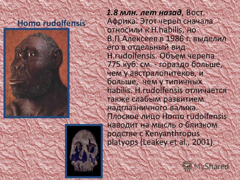 Homo rudolfensis 1.8 млн. лет назад, Вост. Африка. Этот череп сначала относили к H.habilis, но В.П.Алексеев в 1986 г. выделил его в отдельный вид H.rudolfensis. Объем черепа 775 куб. см. - гораздо больше, чем у австралопитеков, и больше, чем у типичн