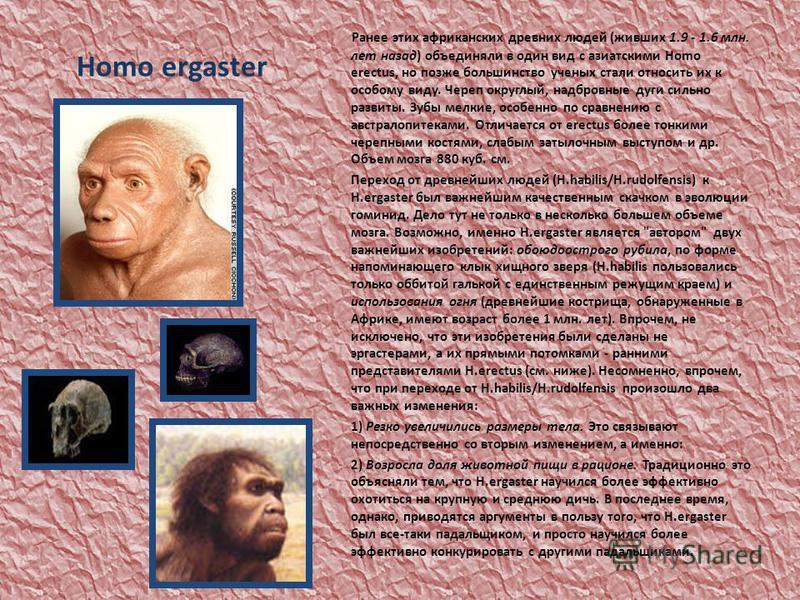 Homo ergaster Ранее этих африканских древних людей (живших 1.9 - 1.6 млн. лет назад) объединяли в один вид с азиатскими Homo erectus, но позже большинство ученых стали относить их к особому виду. Череп округлый, надбровные дуги сильно развиты. Зубы м