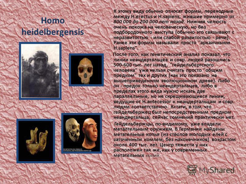 Homo heidelbergensis К этому виду обычно относят формы, переходные между H.erectus и H.sapiens, жившие примерно от 800 000 до 200 000 лет назад. Нижняя челюсть очень похожа на человеческую, но без подбородочного выступа (обычно это связывают с неразв
