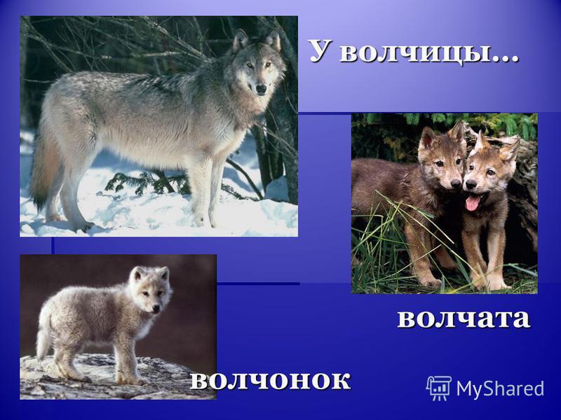 У волчицы… волчата волчонок