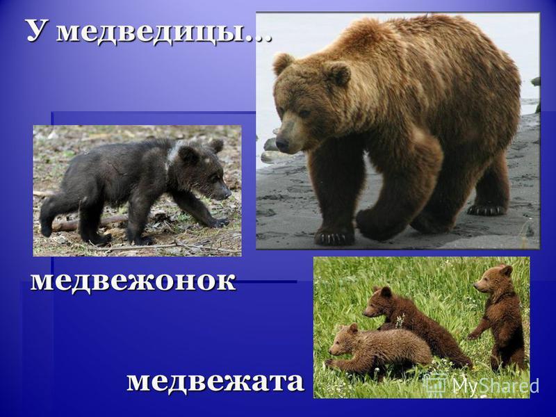 медвежата медвежонок У медведицы…