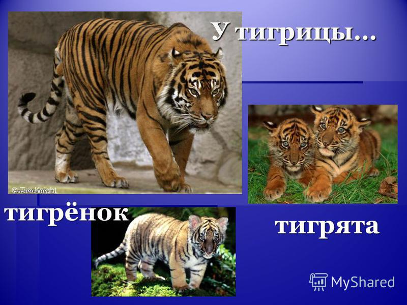 тигрята У тигрицы… тигрёнок