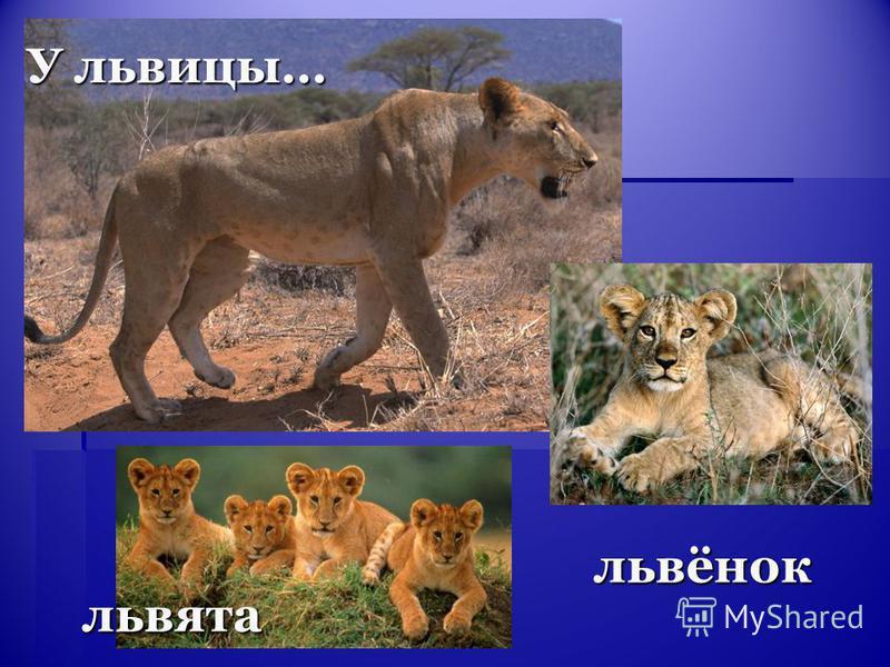 львята У львицы… львёнок