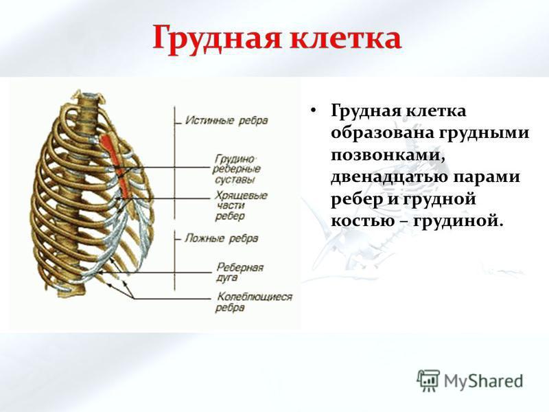 Грудная клетка образована грудными позвонками, двенадцатью парами ребер и грудной костью – грудиной.