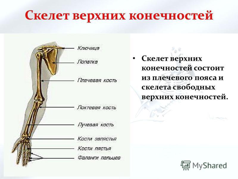 Скелет верхних конечностей состоит из плечевого пояса и скелета свободных верхних конечностей.