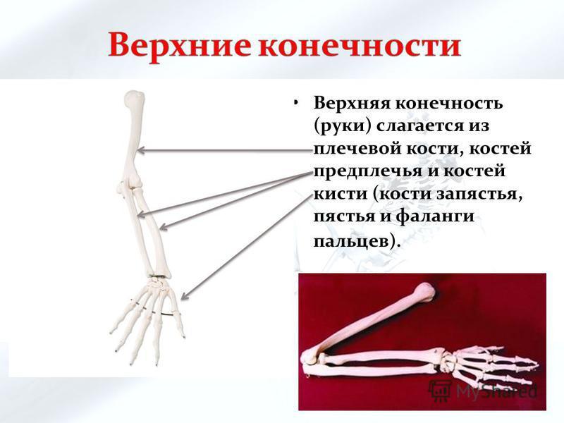 Верхняя конечность (руки) слагается из плечевой кости, костей предплечья и костей кисти (кости запястья, пястья и фаланги пальцев).