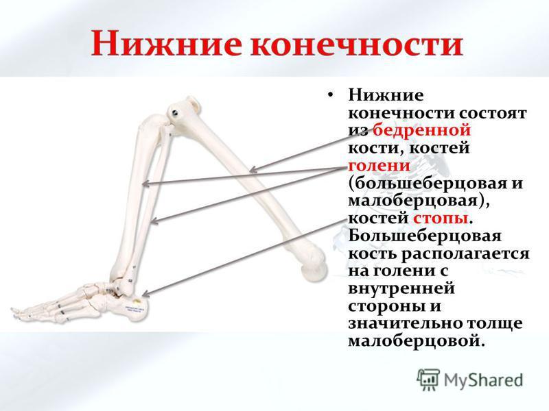 Нижние конечности состоят из бедренной кости, костей голени (большеберцовая и малоберцовая), костей стопы. Большеберцовая кость располагается на голени с внутренней стороны и значительно толще малоберцовой.
