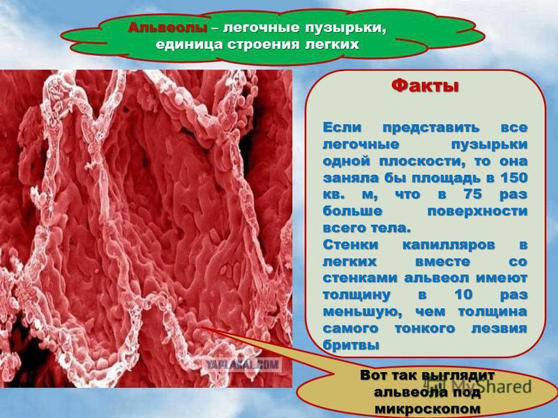 Альвеолы – легочные пузырьки, единица строения легких Вот так выглядит альвеола под микроскопом Факты Если представить все легочные пузырьки одной плоскости, то она заняла бы площадь в 150 кв. м, что в 75 раз больше поверхности всего тела. Стенки кап