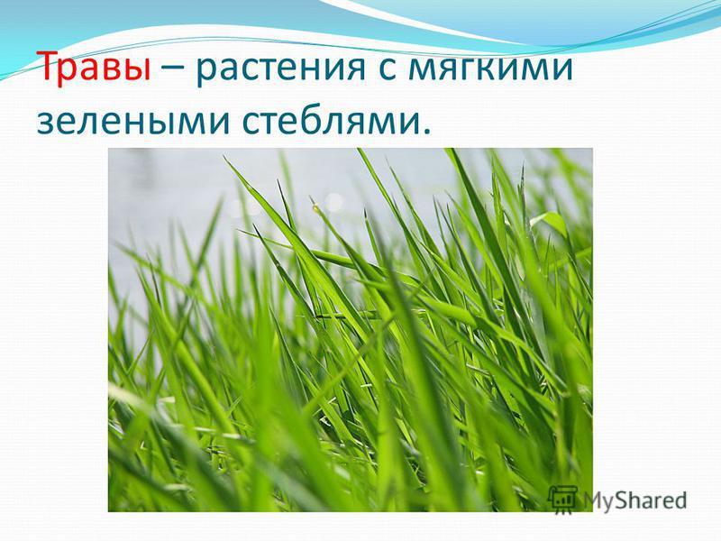 Травы – растения с мягкими зелеными стеблями.