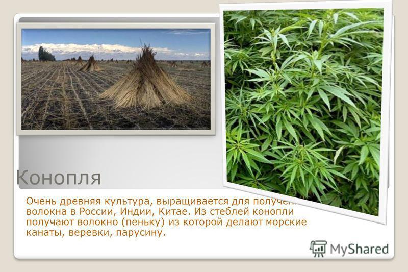 Конопля Очень древняя культура, выращивается для получения волокна в России, Индии, Китае. Из стеблей конопли получают волокно (пеньку) из которой делают морские канаты, веревки, парусину.