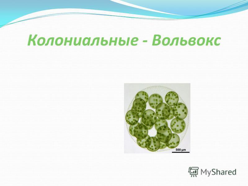 Колониальные - Вольвокс