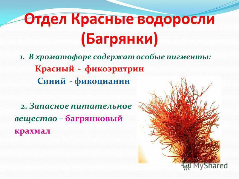 Отдел Красные водоросли (Багрянки) 1. В хроматофоре содержат особые пигменты: Красный - фикоэритрин Синий - фикоцианин 2. Запасное питательное вещество – багрянковый крахмал