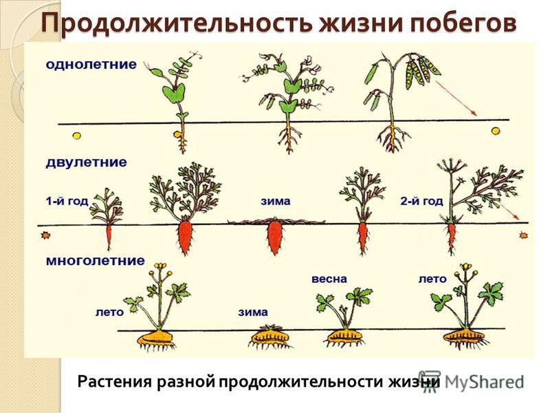 Продолжительность жизни побегов Растения разной продолжительности жизни