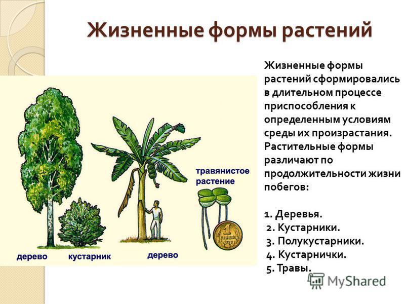 Жизненные формы растений Жизненные формы растений сформировались в длительном процессе приспособления к определенным условиям среды их произрастания. Растительные формы различают по продолжительности жизни побегов : 1. Деревья. 2. Кустарники. 3. Полу