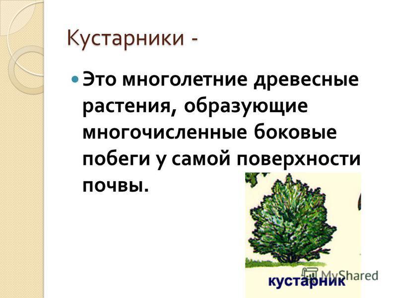 Кустарники - Это многолетние древесные растения, образующие многочисленные боковые побеги у самой поверхности почвы.