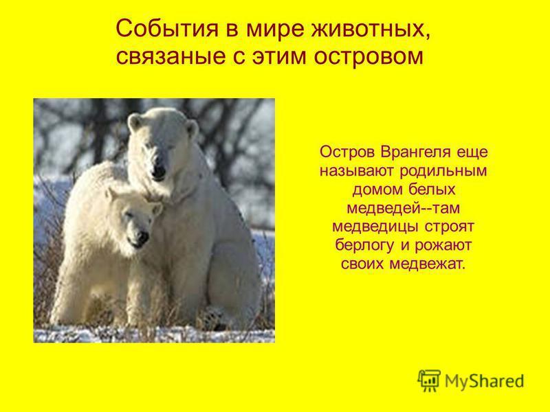 События в мире животных, связанные с этим островом Остров Врангеля еще называют родильным домом белых медведей--там медведицы строят берлогу и рожают своих медвежат.