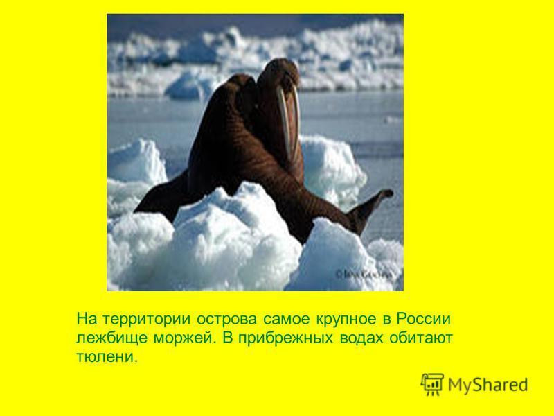 На территории острова самое крупное в России лежбище моржей. В прибрежных водах обитают тюлени.