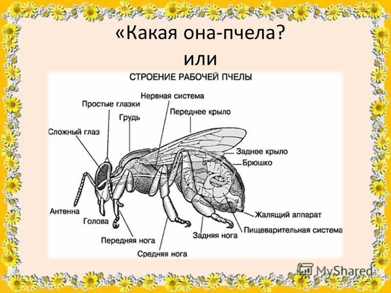 «Какая она-пчела? или