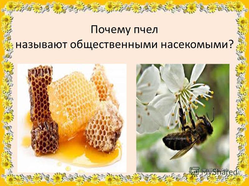 Почему пчел называют общественными насекомыми?