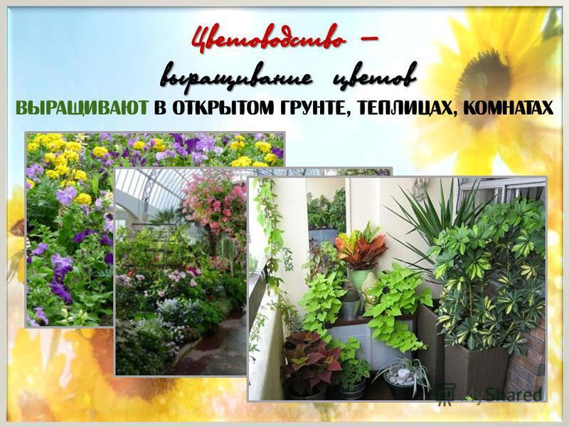 Цветоводство – выращивание цветов Выращивают в открытом грунте, теплицах, комнатах