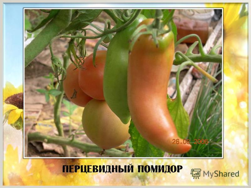 Перцевидный помидор