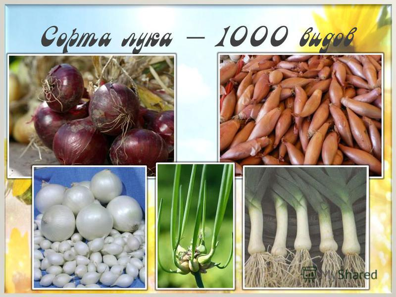 Сорта лука – 1000 видов