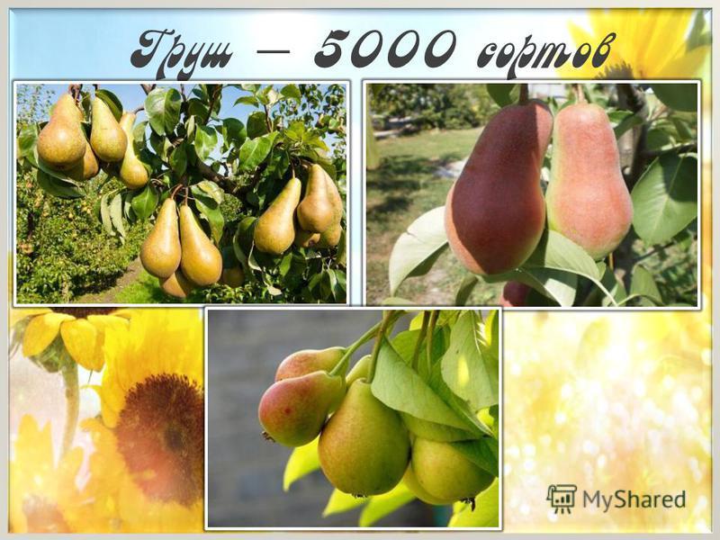 Груш – 5000 сортов