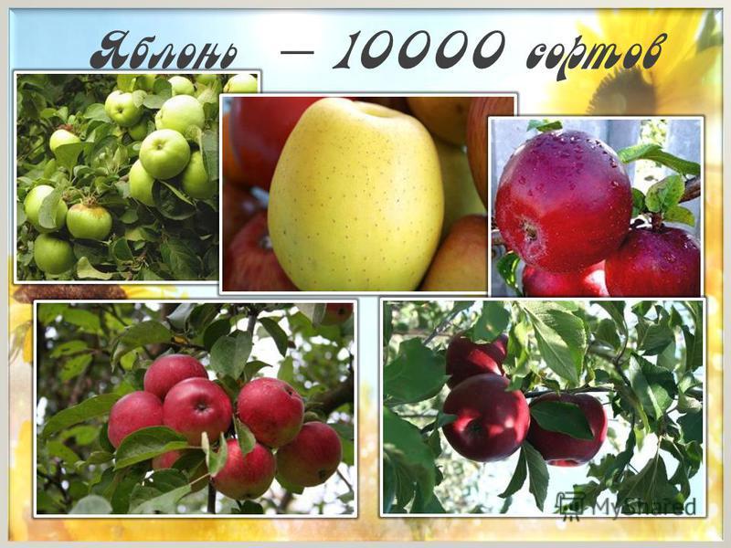 Яблонь – 10000 сортов