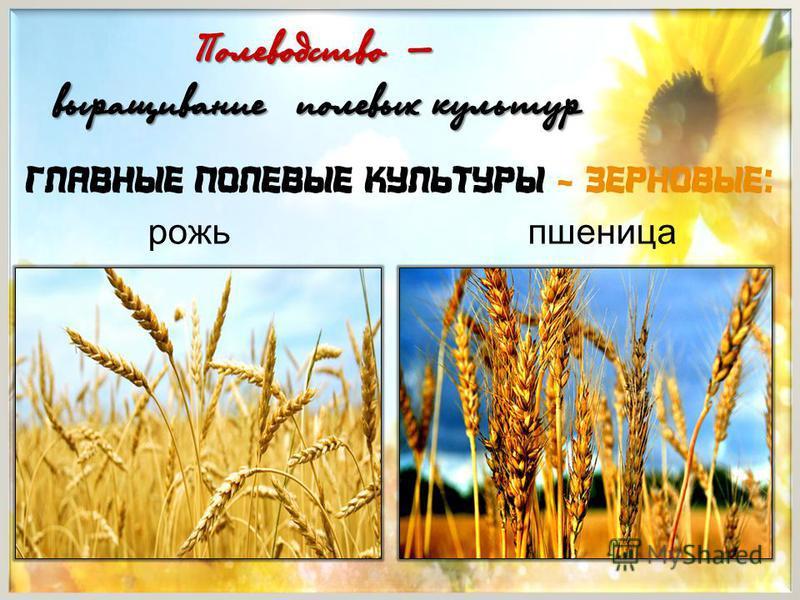 Полеводство – выращивание полевых культур главные полевые культуры – зерновые: рожь пшеница