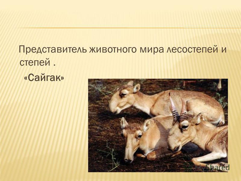 Представитель животного мира лесостепей и степей. «Сайгак»