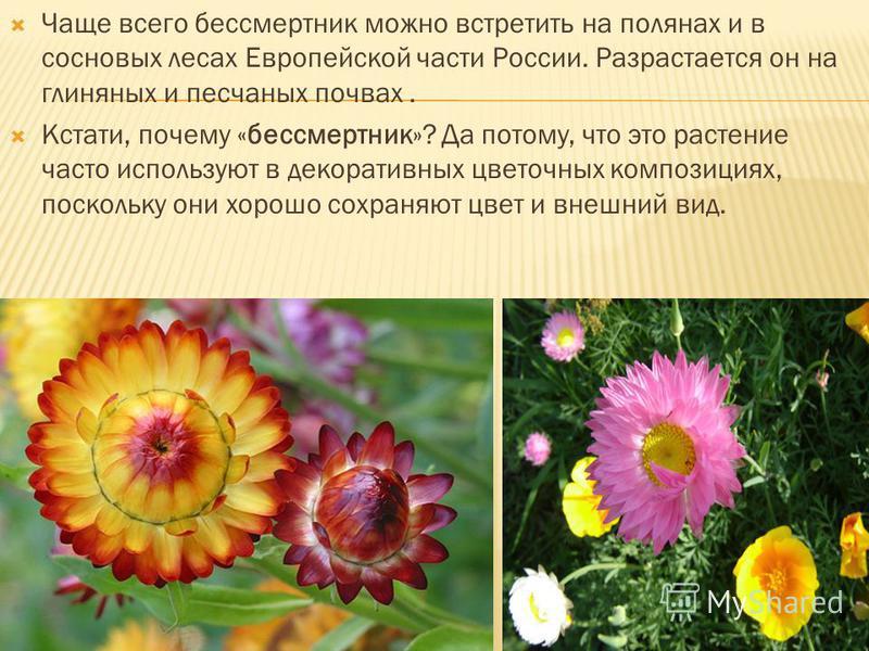 Чаще всего бессмертник можно встретить на полянах и в сосновых лесах Европейской части России. Разрастается он на глиняных и песчаных почвах. Кстати, почему «бессмертник»? Да потому, что это растение часто используют в декоративных цветочных композиц